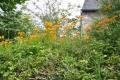 fleur mont d'arrée (1)