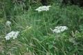 fleur mont d'arrée (11)
