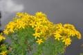 fleur mont d'arrée (12)