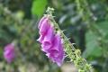 fleur mont d'arrée (13)