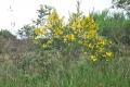 fleur mont d'arrée (8)