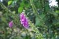 fleur mont d'arrée (7)